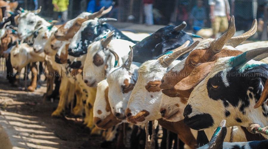 Govt starts selling goats for Dashain