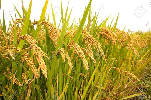 Paddy production records 5.62 million tonnes this year