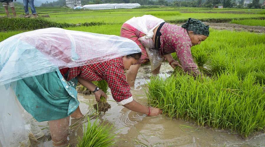National Paddy Day being observed today