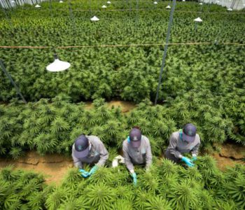 Colombia authorizes industrial use of cannabis and its export for medicinal purposes